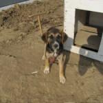 2 veltrænet dræberhunde, sørger for ingen adgang